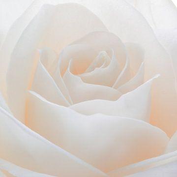 Witte roos in close-up van Emajeur Fotografie