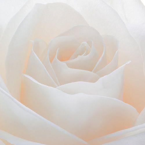 Witte roos in close-up van