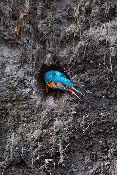 Der Eisvogel verlässt seine Nistwand im Wurf. von Jeroen Stel