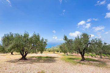 Obstgarten von Olivenbäumen auf der griechischen Küste von Ben Schonewille