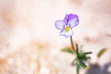 Dünenviolett einsam in der Düne von Caroline van der Vecht