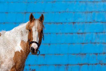 Poney sur mur bleu van Renald Bourque