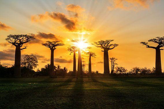 Zonnestralen Baobabs van Dennis van de Water