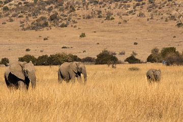 familie olifant in zuid afrika van maarten starink