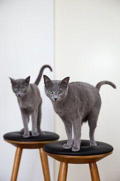 Russisch Blau Katzen Austin und Amelie von Janine Bekker Photography
