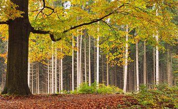 Beukenboom in herfstkleur van Corinne Welp