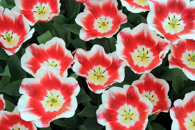 The Red and White Tulips van Cornelis (Cees) Cornelissen