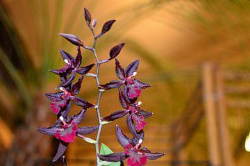 Orchidea van