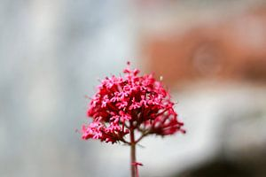 The central pink flower
