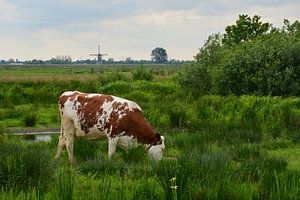 Koe in de polder van