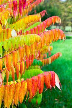 Fluweelboom in kleuren van herfst van Ben Schonewille