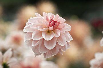 Dahlienblüte von Jan Schuler