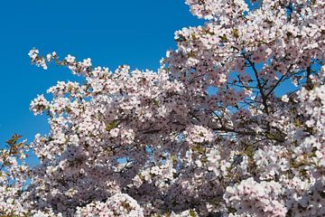 Japanse bloesem met een heldere blauwe lucht van JM de Jong-Jansen