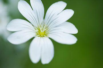 witte bloem met gele kern von Carolina D'Andrea