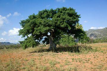 Baum in Kuba von Kees van Dun