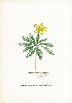 Gelbe Anemone von Jasper de Ruiter
