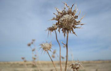 Distel in woestijnachtig landschap van Ingrid Bargeman