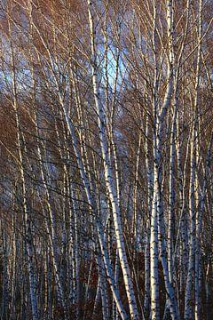 Birkenwald im Winter von Thomas Jäger