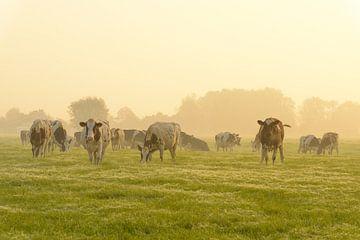 Kühe auf einer Wiese während eines nebligen Sonnenaufgangs von Sjoerd van der Wal