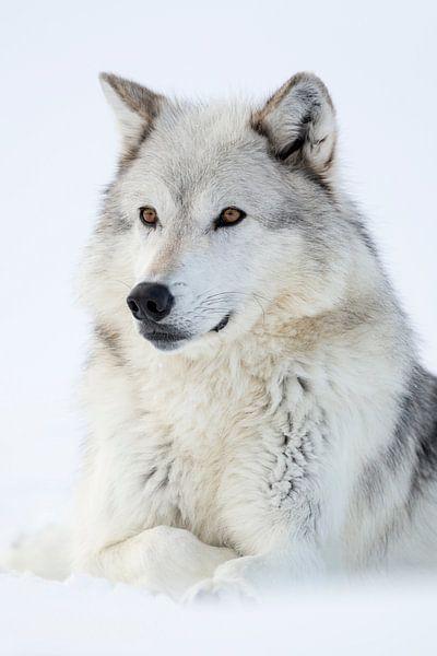 Gray Wolf  * Canis lupus * in winter, resting in snow van wunderbare Erde