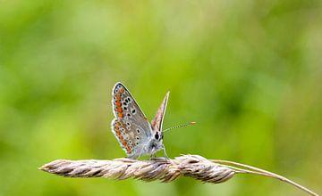Vlinder op een halm. van Maurice de vries