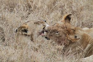 Leeuwen likken elkaar schoon na de maaltijd van