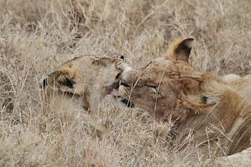 Leeuwen likken elkaar schoon na de maaltijd van Tim Kolbrink