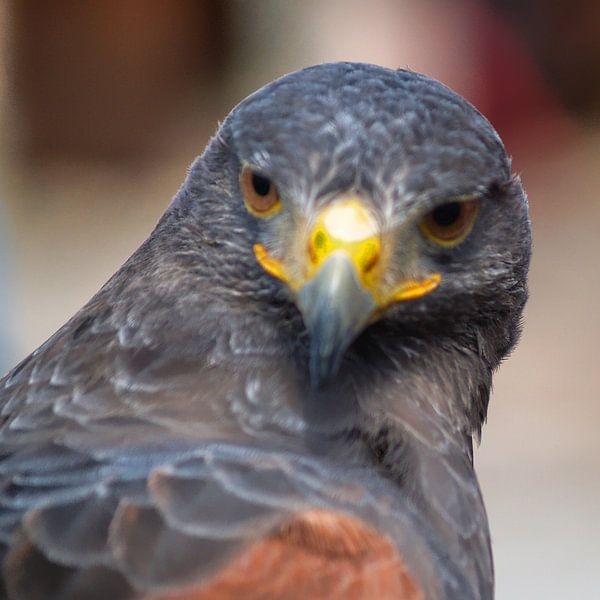 Raubvogel - 3 von Peter Morgenroth