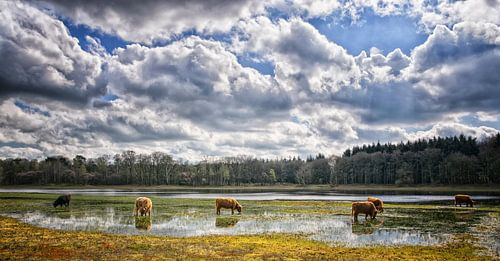 Een kudde schotse hooglanders... van Pascal Raymond Dorland