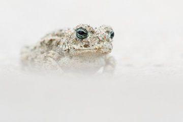 Kreuzkröte - Natternkröte - Epidalea calamita von Rick Willemsen