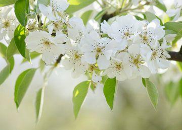 Birnenblüte von Elles Rijsdijk