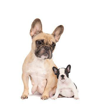 Studio portret van een moeder French Bulldog en een pup tegen een witte achtergrond van Leoniek van der Vliet