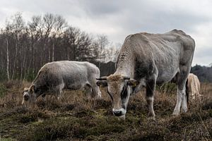 Kühe im Wintermoor vergasen