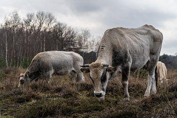 Kühe im Wintermoor vergasen von Tina Linssen
