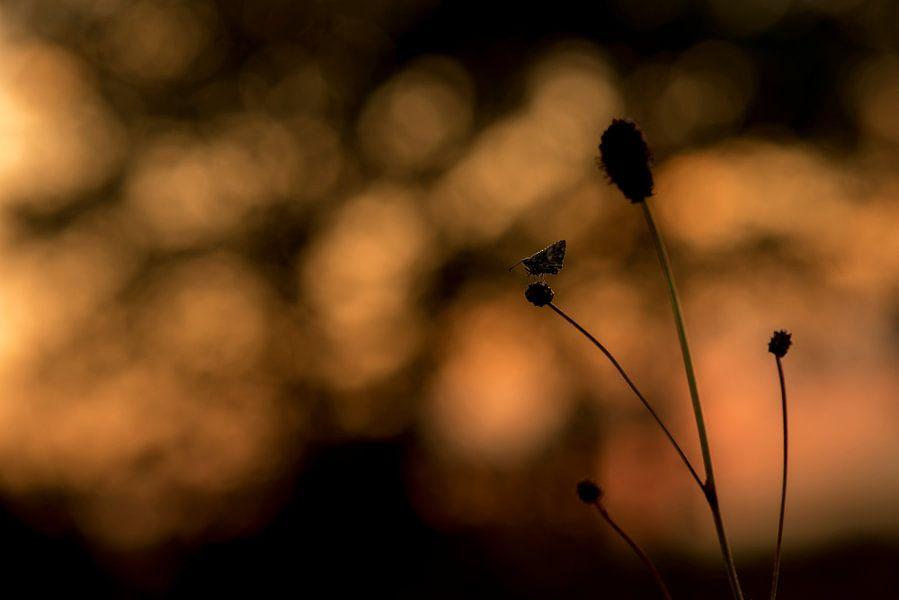 Aardbeivlinder bij zonsopkomst