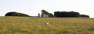 Kuh in Abendlandschaft bei Bastogne in den belgischen Ardennen von anton havelaar