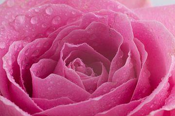 Prachtige roos met water druppels van