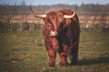 Schotse hooglander van Miranda Heemskerk