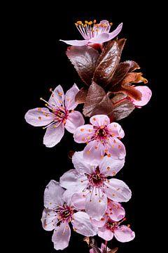 Paarse pruimenbloesems