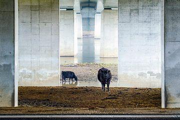 Koeien onder de brug von Karin de Jonge