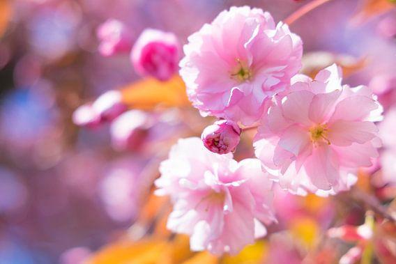Japanse kersenbloesem in het voorjaar