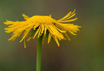 Gele bloem von Ingrid Ronde