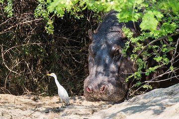 Nijlpaard met begeleidende vogel in de Okavango van Henri Kok