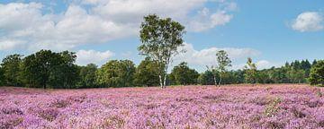 Uitgestrekt bloeiend heideveld in de zon, De Kampina van Henno Drop