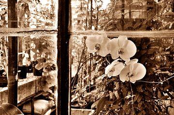 Orchideen Sepia von Alice Sies