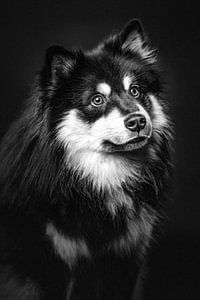 Fine art portret van een Finse Lappenhond in zwart-wit 1/3 van Lotte van Alderen