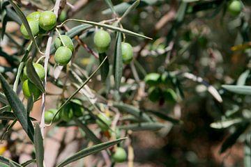 Spaanse olijven aan boomtakken, Andalusië, Soanje van
