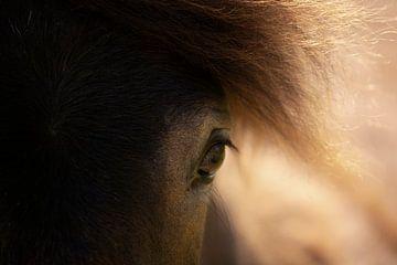 Exmoor-Pony (Equus ferus caballus) von Eric Wander