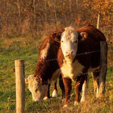 Kühe von Diana Kors