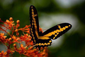 Vlinder von Ilse Fokker
